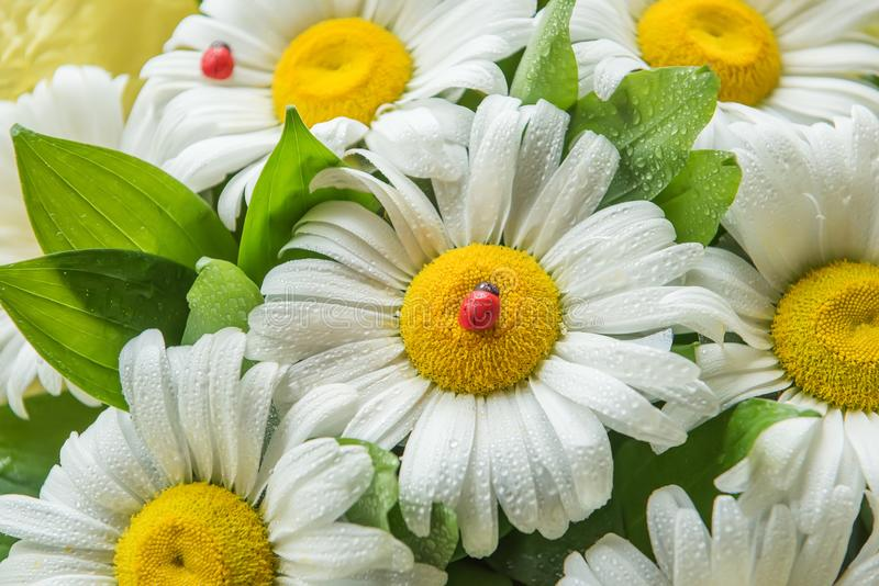 Flowers of chamomile in drops of water and artificial ladybug decorate a bouquet. royalty free stock images