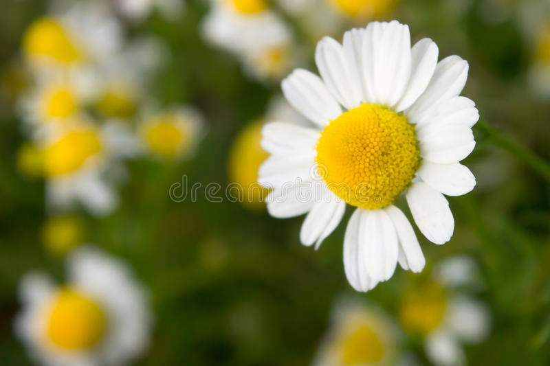 Flowers of chamomilla royalty free stock photos