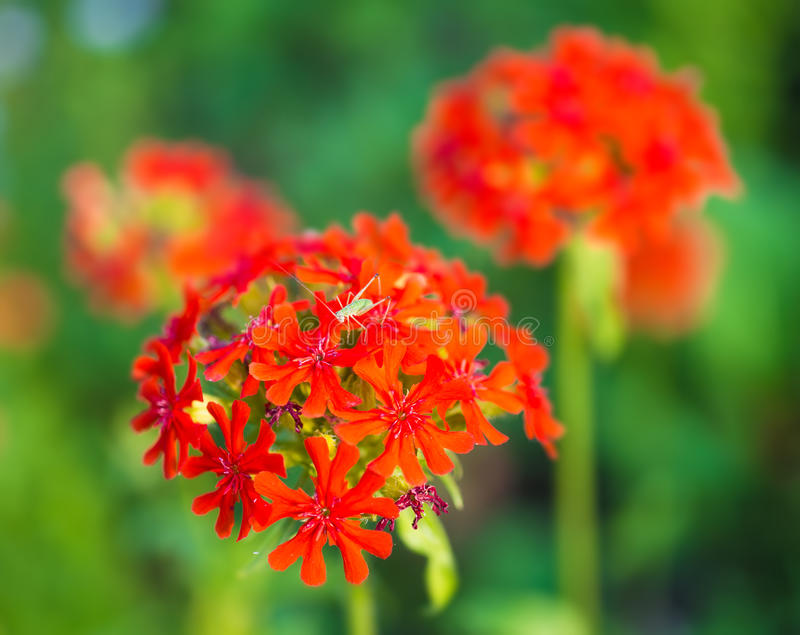 The Flowers Of Charming  Red Carnations With Small Grasshopper Royalty Free Stock Image