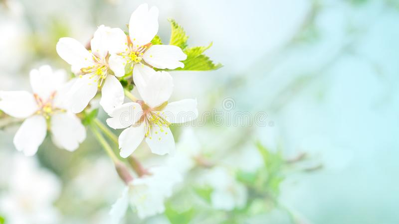 Flowers of cherry blossom in the soft pink light, sacura with bokeh and filters, floral background. Long width banner royalty free stock photos