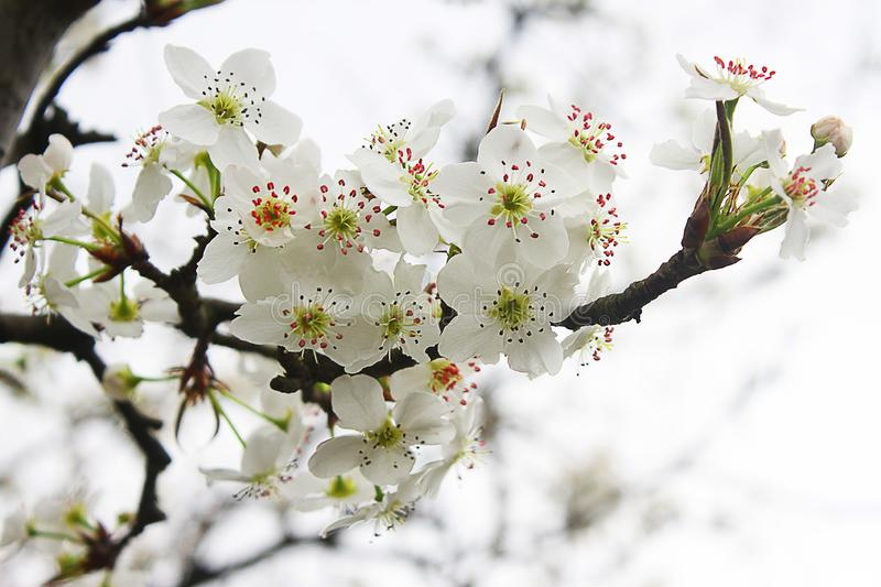 Flowers of cherry blossoms Closeup leaf. stock image