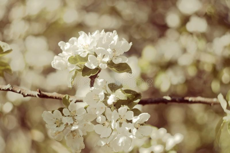 Flowers of the cherry blossoms on spring day. Vintage photo of white apple tree flower in spring stock photo