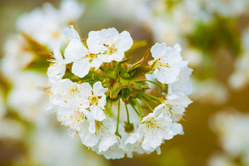 First spring white flowers, closeup stock image