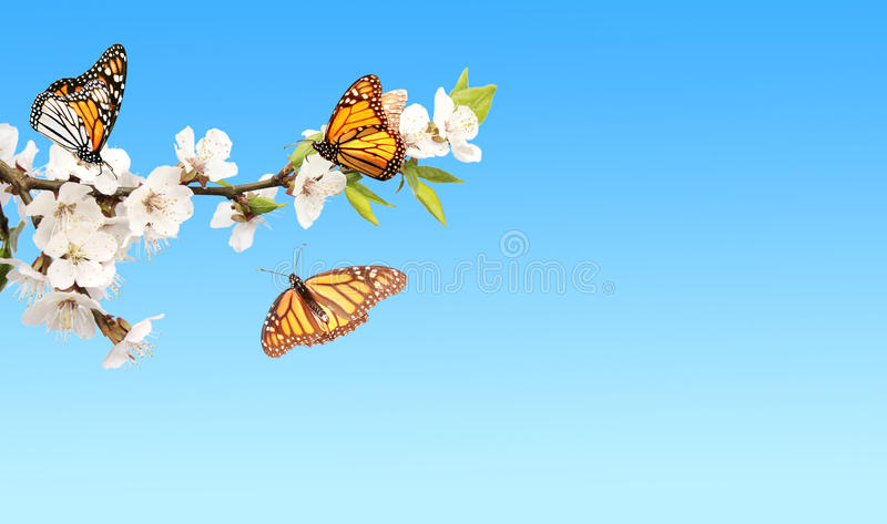 Flowers of cherry and monarch butterflies stock photography