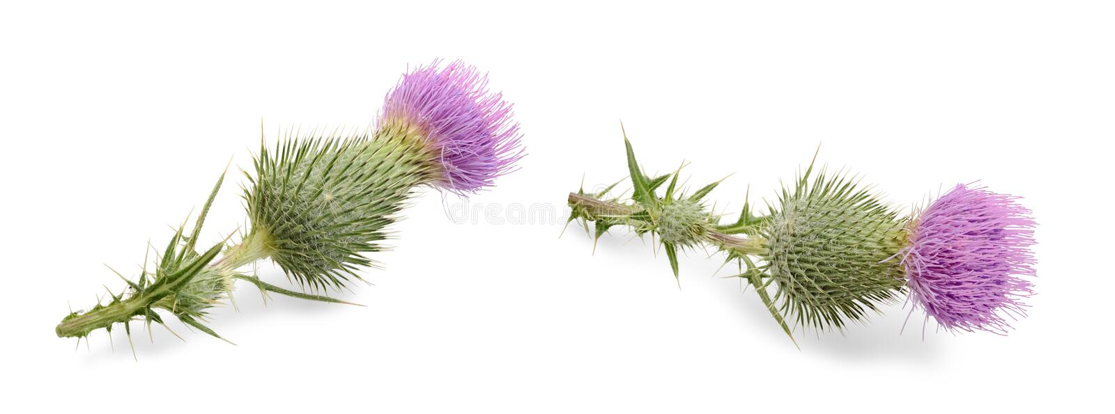 Flowers cirsium vulgare on white. Set of flowers cirsium vulgare spear thistle, bull thistle or common thistle isolated on white background. Plant with a lot of stock image