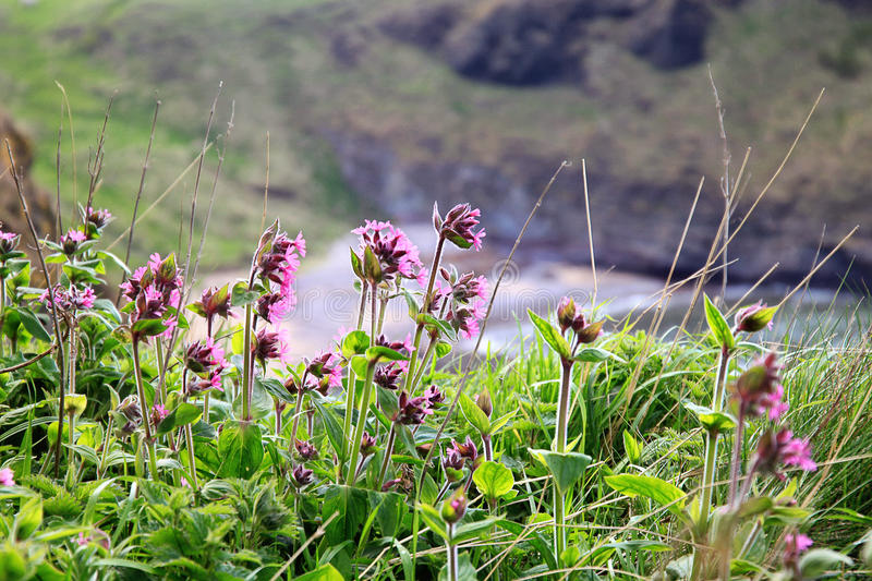 Flowers on a cliff rock, Scotland. stock photography
