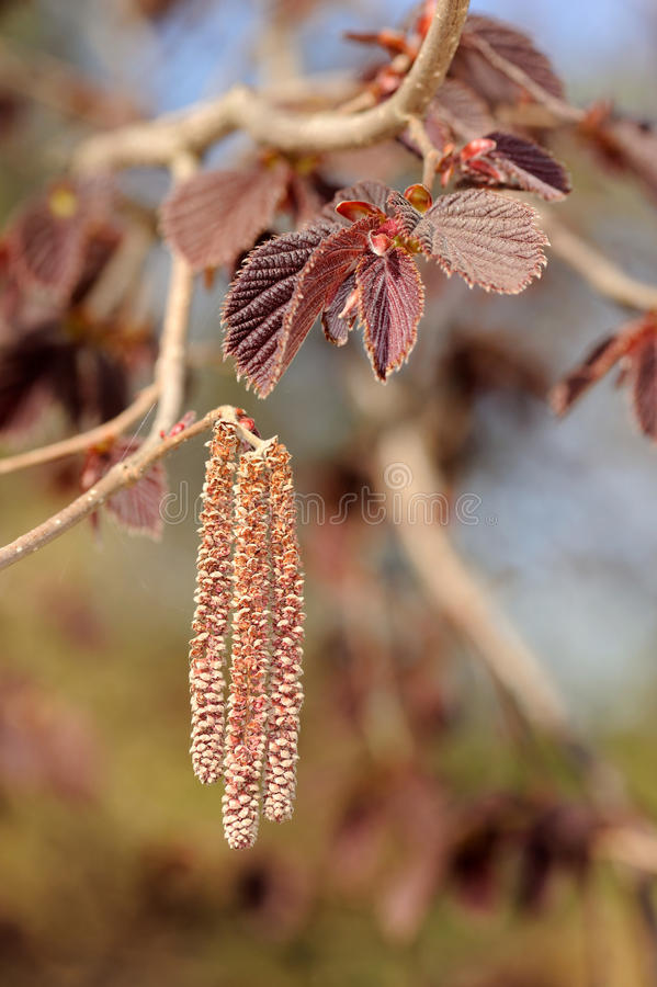 Flowers of common hazel. Corylus avellana 'Fuscorubra stock image