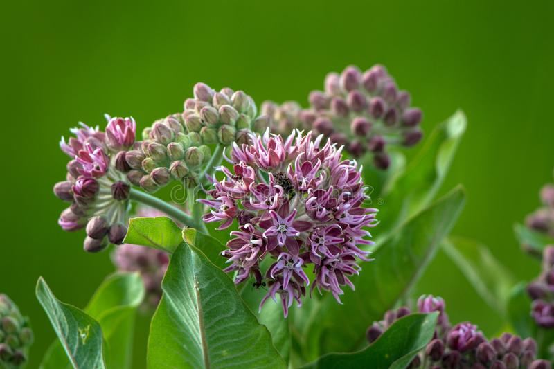 Flowers of the Common Milkweed carry a weevil and several ants in spring in a marsh royalty free stock image