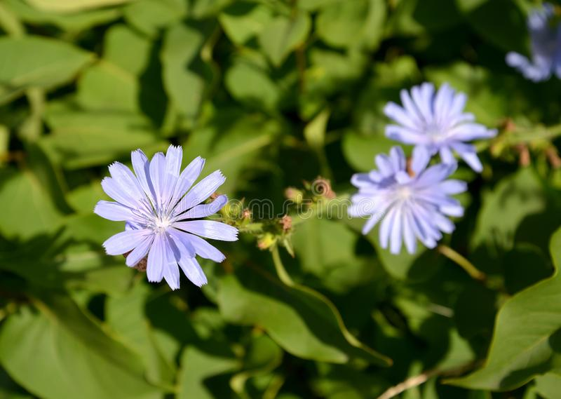 Flowers of common succory Cichorium intybus L stock images