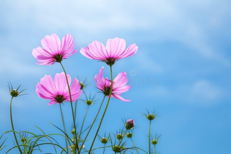 Flowers cosmo. stock photo