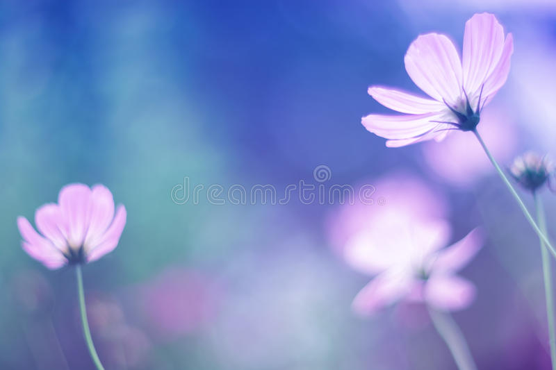 Flowers cosmos with gentle shades, soft focus royalty free stock images