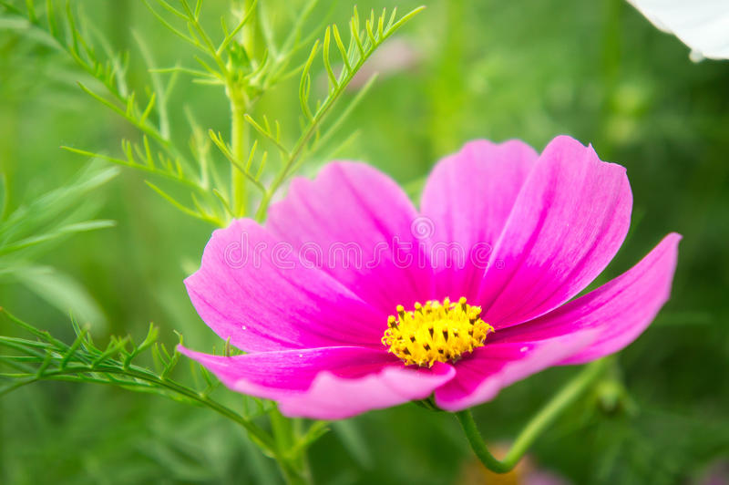 flowers, cosmos white and pink flowers in the park ,colorful flo royalty free stock photos