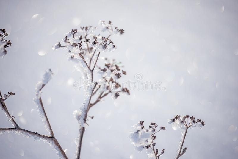 Flowers covered with sparkling hoarfrost and snow on a snowy field. royalty free stock photo
