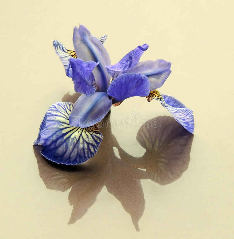 Flowers cut flowers buds irises blue shadow reflection stock image