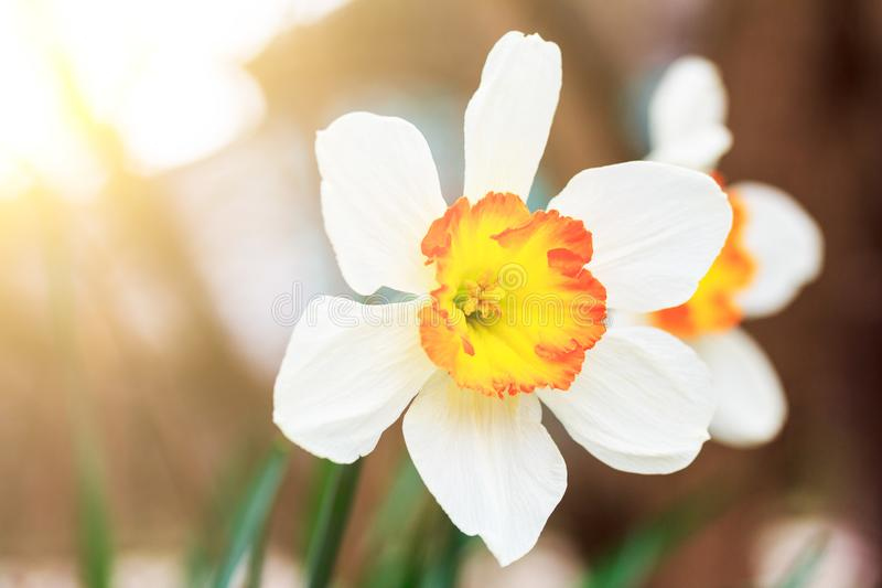 Flowers of daffodils on a spring sunny morning stock image