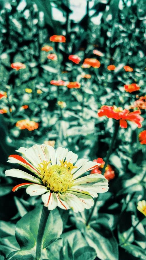 Flowers Daisy stock photography
