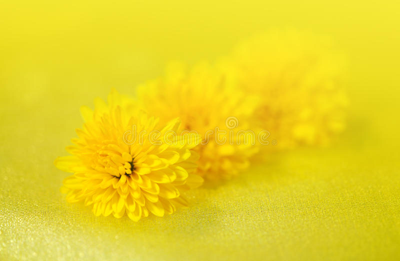 Download Flowers dandelion stock image. Image of valentines, celebratory - 23105855