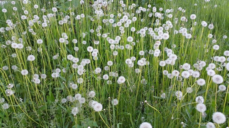 Flowers dandelions. In June summer in Siberia in Russia royalty free stock images