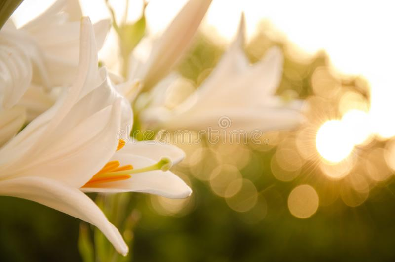 Flowers at dawn. White flower at dawn, fresh and beautiful stock photos