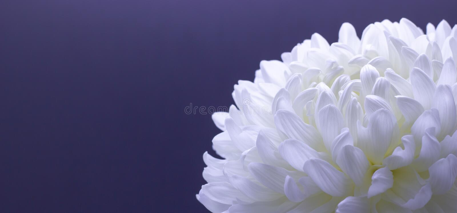 Flowers of delicate white chrysanthemum macro photo on a dark background free space for your text stock photo