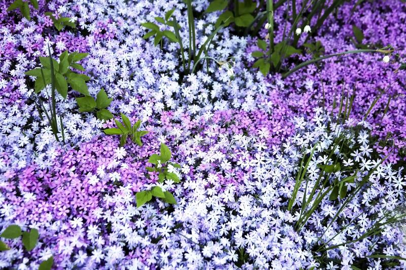 Flowers of different shades of awl-like groundcover Phlox. Carpet made of multicolored small flowers for decorative purposes royalty free stock photo