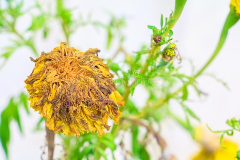 Flowers dry withered On the tree.  royalty free stock photography