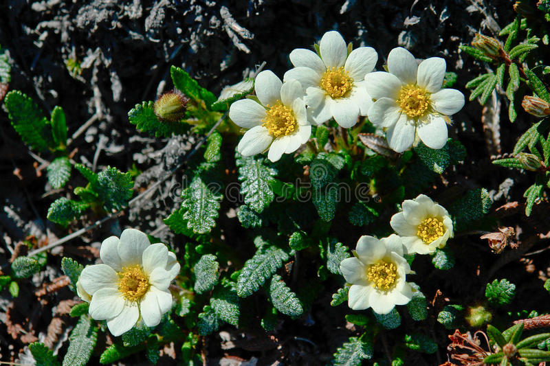 Flowers Dryads in the tundra of Chukotka. stock photos