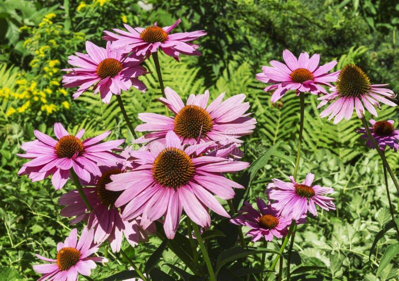 Flowers of Echinacea purpurea. Sunny day stock image
