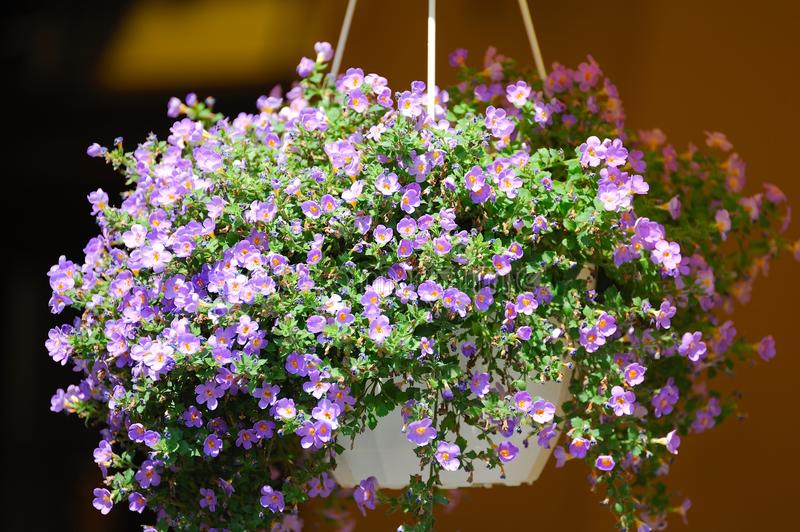 Flowers at the entrance to the restaurant. Hanging flowers at the entrance to the restaurant royalty free stock image