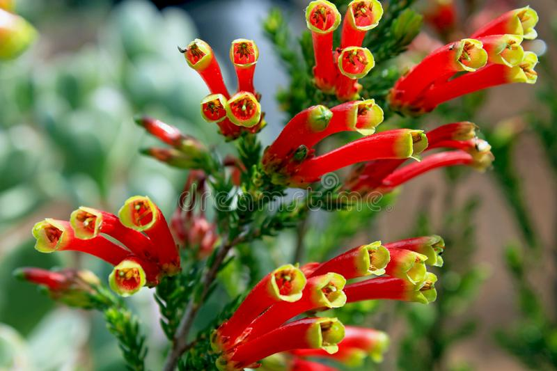 Flowers of Erica densifolia, Garden flower, South Africa. Flowers of Erica densifolia with red and yellow color on top of the petal. Erica densifolia is an erect stock images