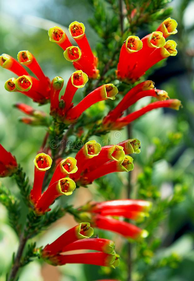 Flowers of Erica densifolia, Garden flower, South Africa. Flowers of Erica densifolia with red and yellow color on top of the petal. Erica densifolia is an erect royalty free stock photo