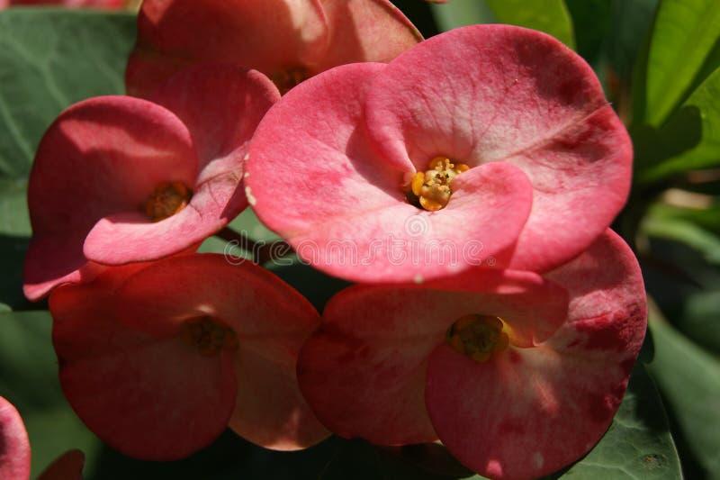 Euphorbia flowers stock photos