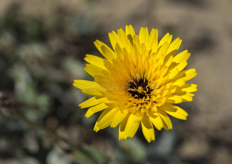Flowers of False Sow-thistle, Reichardia tingitana stock photos