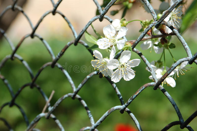 Flowers in the fence stock images