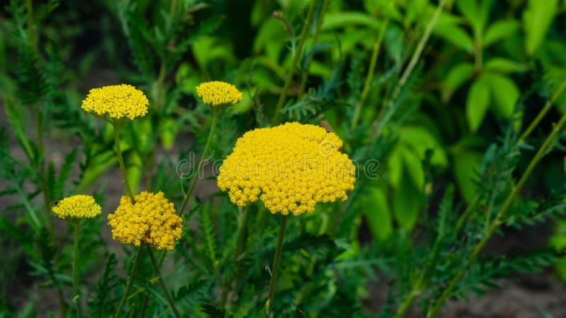 Flowers of Fernleaf yarrow or Achillea filipendulina macro, selective focus, shallow DOF.  stock photo