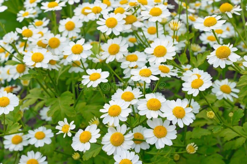 Flowers feverfew (Tanacetum parthenium) stock images