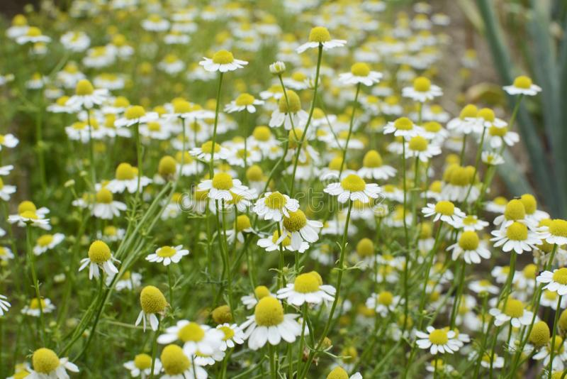 Flowers field of Camomile bouquet. Flowers field of Camomile bouqet with lot of green and yellow royalty free stock images
