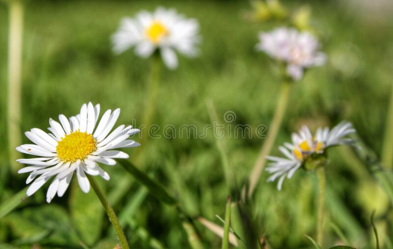 Flowers in the field royalty free stock image