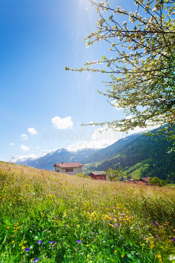 Flowers field near swiss mountains stock photo image 39553201 - Summer houses mountains ...