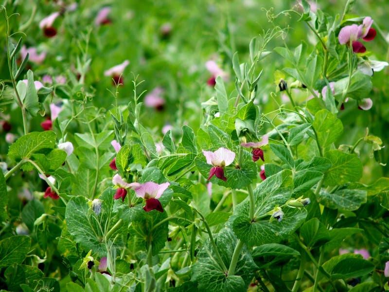 Flowers - field peas royalty free stock photo