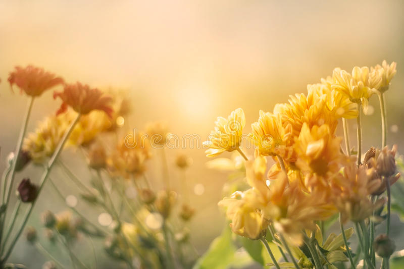 Flowers field at sunset in pastel vintage color tone style. Soft focus royalty free stock image