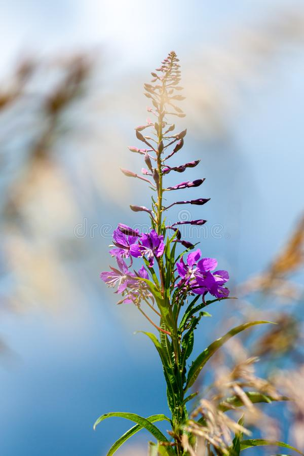 Flowers of fireweed and meadow fescue on a bright sunny day. Close-up. Flowers of fireweed Ivan Chaya and meadow fescue Festuca partensis on a bright sunny day royalty free stock photography