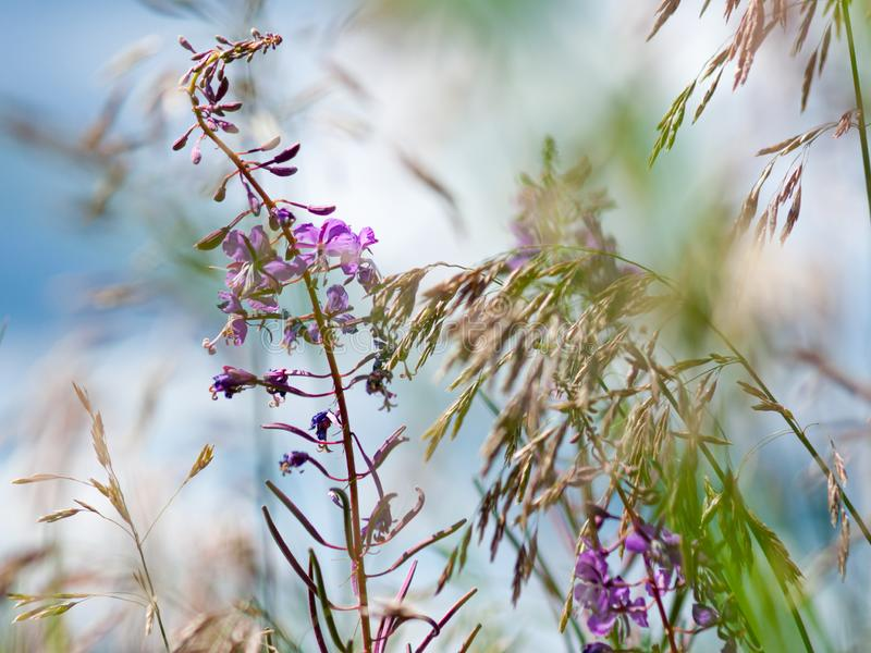 Flowers of fireweed and meadow fescue on a bright sunny day. Close-up. Flowers of fireweed Ivan Chaya and meadow fescue Festuca partensis on a bright sunny day stock images