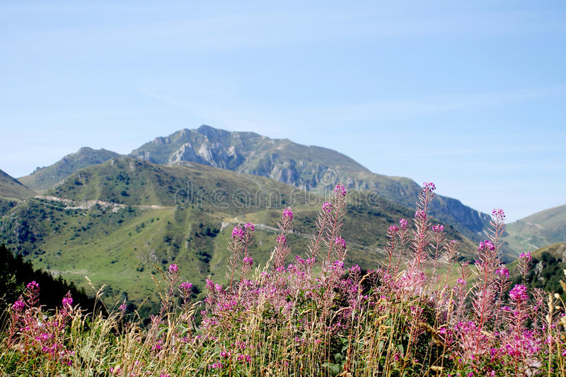 Flowers of fireweed in a mountain landscape royalty free stock images
