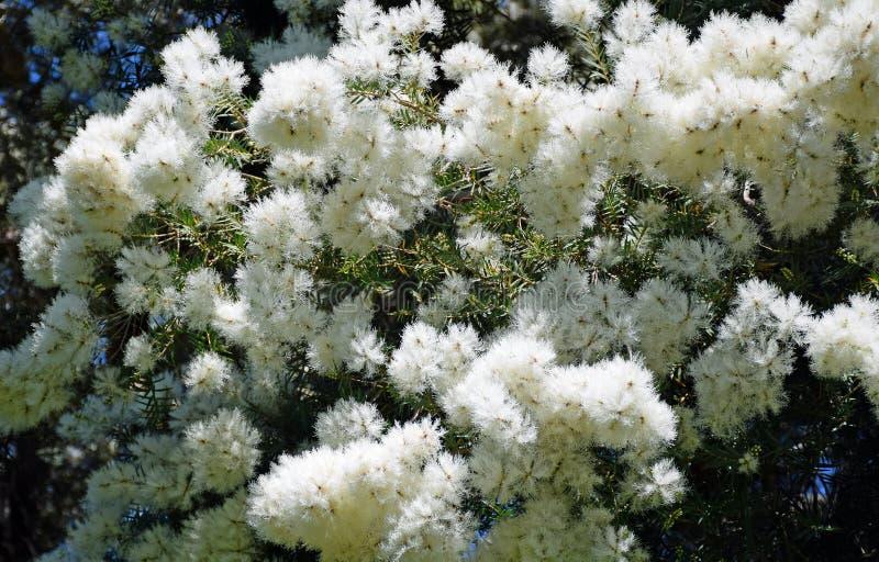 Flowers of the Flax Paperbark tree or Melaleuca linariifolia in Laguna Woods, California. Image shows the flowers of the Flax Paperbark tree or Melaleuca stock photos