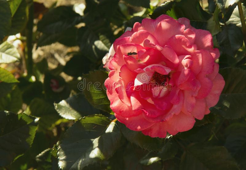 The beautiful red rose had many petals. On one petal sat a wasp royalty free stock image