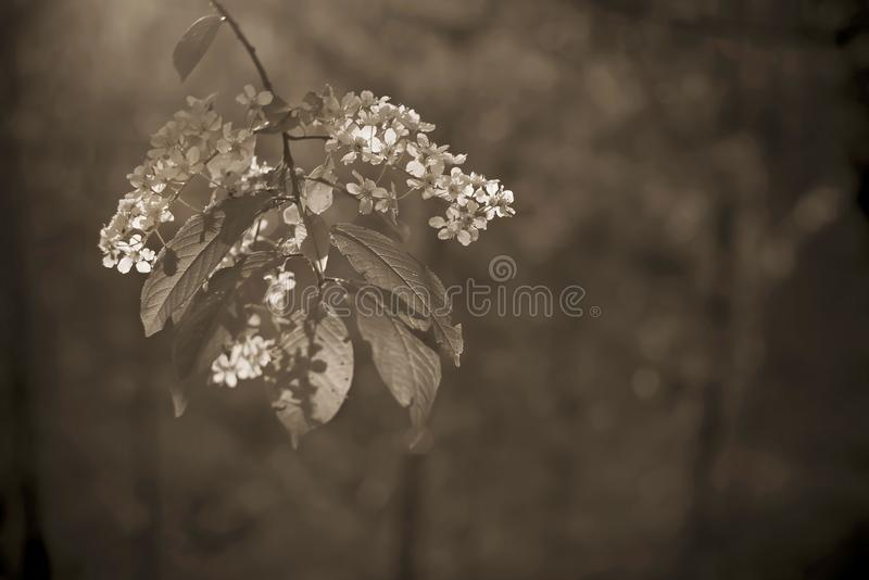 Flowers of the Flowering bird cherry bush in the light of the setting sun stock photo