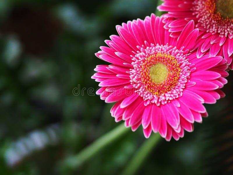 Flowers, flowers chrysanthemum, Chrysanthemum wallpaper, royalty free stock images