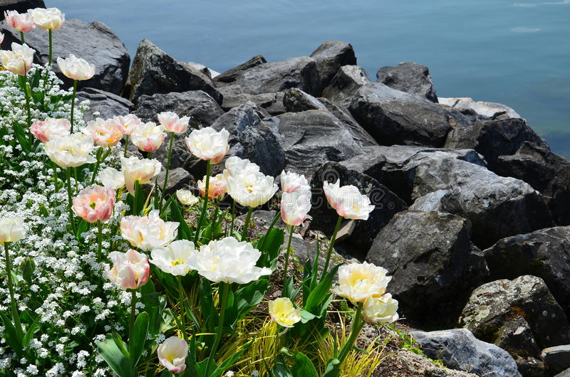 flowers at the foot of the Alps royalty free stock photos