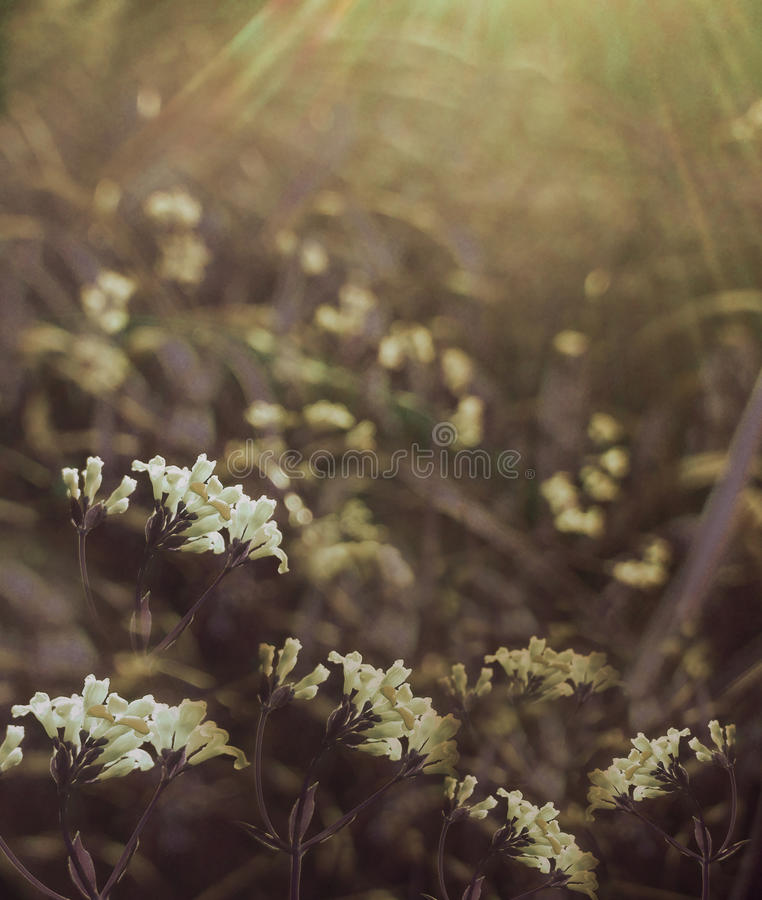 Flowers forest. Floral beautiful background. White flowers bloom in a clearing in the sunshine at sunset on a summer day. Nature royalty free stock photos